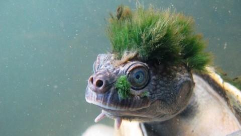 La tartaruga 'punk' che respira dal sedere è a rischio estinzione ed è … – Scienze Fanpage