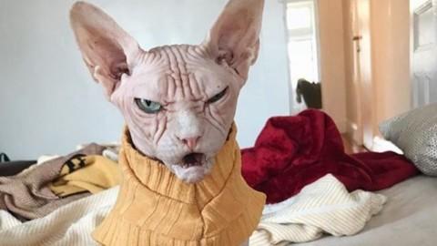 Sphynx, il felino nudo: tutto sulla razza di Loki, il gatto più arrabbiato … – Scienze Fanpage