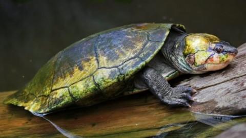 La tartaruga 'punk' che respira coi genitali rischia l'estinzione – greenMe.it