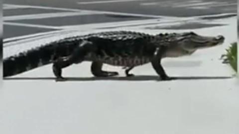 Florida – Tampa. Alligatore passeggia tranquillamente per le vie del … – 3bmeteo