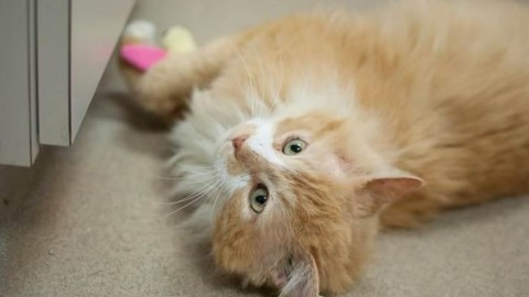 Toby, il gatto che percorre 20 km per tornare a casa. Ma i proprietari … – greenMe.it