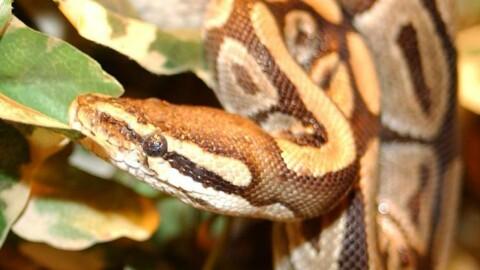 Un serpente come coinquilino – RSI.ch Informazione