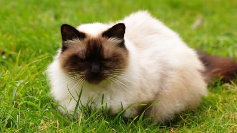 Himalayano, caratteristiche del gatto metropolitano dal fascino esotico – LifeGate