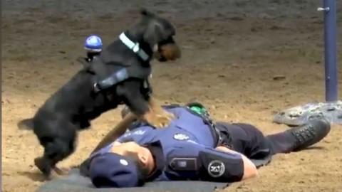 Esiste un cane poliziotto in grado di fare un massaggio cardiaco … – TPI