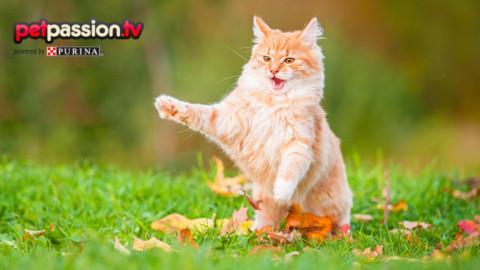 Comportamenti strani del gatto, quali sono i loro significati? – Petpassion.tv