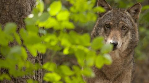 """Trento approva legge """"ammazza"""" lupi e orsi: chiediamo impugnazione a Presidente Conte e Ministro Costa"""