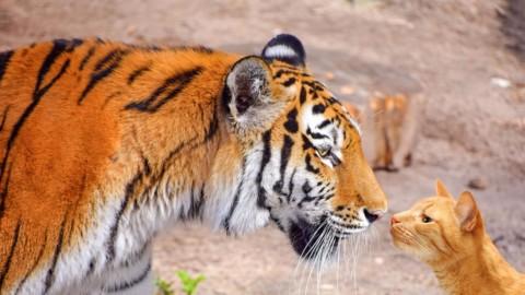 """""""A-Mici"""", i gatti domestici per le grandi tigri – Vita"""