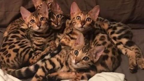 """""""Allevo Bengala, più che gatti sembrano cani"""" – Adnkronos"""