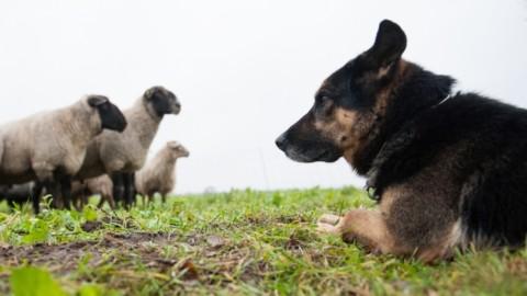 Morde un escursionista, soppresso un cane da pastore – tio.ch