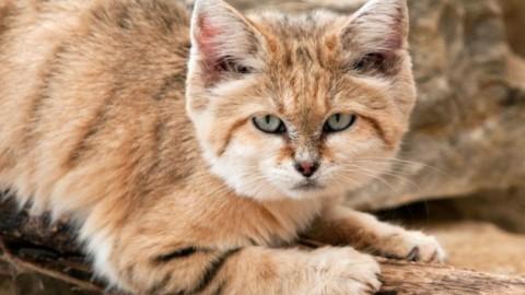 Il misterioso gatto delle sabbie – FocusJunior.it