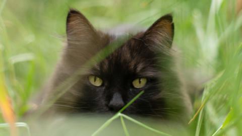 Acoustic Kitty: quando la CIA arruolava i gatti – Focus
