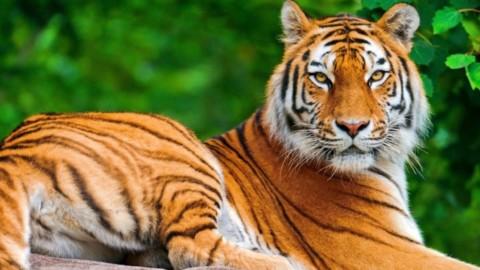 Tiger Day: WWF lancia una campagna dedicata ai gatti e ai loro … – Felicità Pubblica
