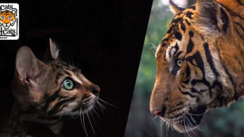 """Una tigre in salotto: 7 curiosità sul """"micio di casa"""" che lo … – Meteo Web"""