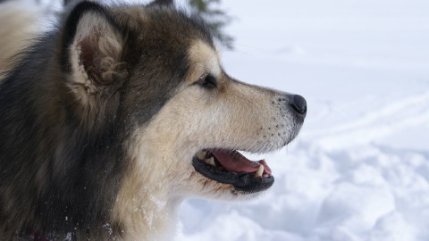 Dalle corse nei ghiacci all'inferno del caldo. Una vita da cani (da slitta) – il Giornale