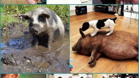 Il porcellino domestico. – Tropea e dintorni