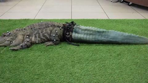All'alligatore hanno stampato la coda con una stampante 3D (VIDEO) – Sputnik Italia