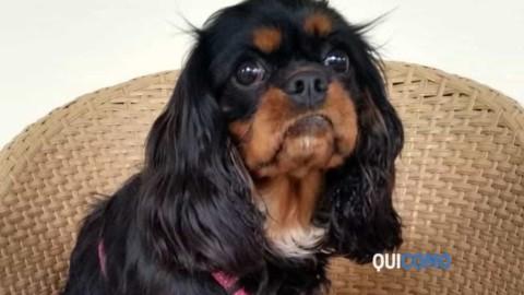 Lurate Caccivio, cagnolina azzannata e uccisa da due cani: ferita … – QuiComo