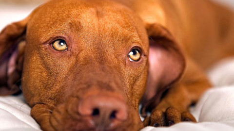 Malattia dei cani da caccia, la filariosi: sintomi e rimedi – Caccia Passione