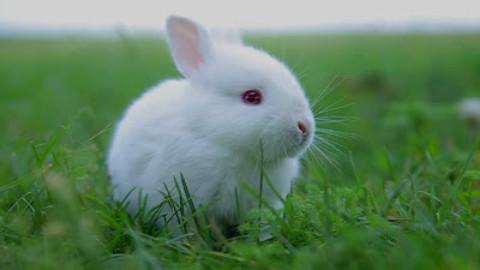 Lo sviluppo comportametale dei conigli e la socializzazione con l'uomo.