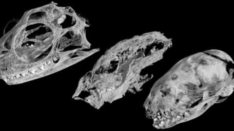 La grande famiglia fossile di un antenato dei mammiferi – Giornale di Sicilia