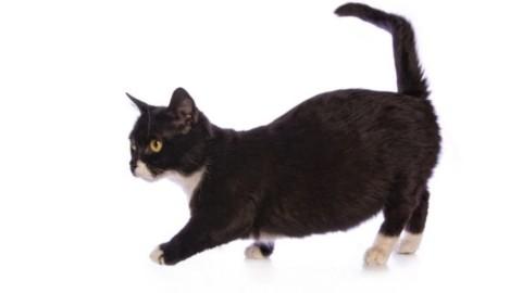 Munchkin, il gatto bassotto – FocusJunior.it