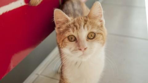Peritonite infettiva felina, FIP: le cose da sapere – OggiScienza