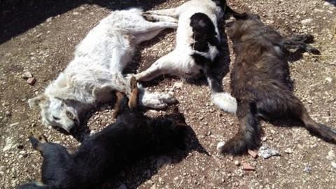 Cerchio, strage di cani maremmani avvelenati con la stricnina – Terre Marsicane
