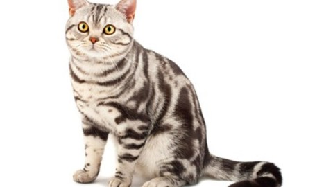 Scegliere un gatto: 5 razze di gatti popolari in tutto il mondo e … – www.amoreaquattrozampe.it (Blog)