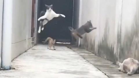 """Contro i """"bulli"""" del quartiere, la fuga di questo gatto tra salti e planate … – Il Fatto Quotidiano"""