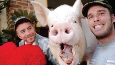 Il maiale più famoso del mondo guarito dal cancro – Esauriente.it (Blog)