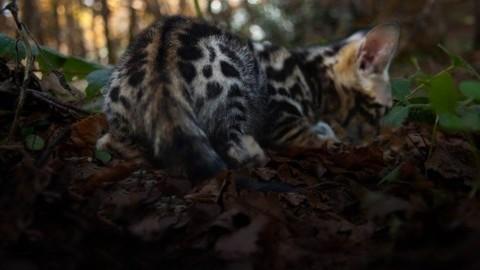 Roseto, un'oasi dedicata al gatto bengala – CityRumors.it