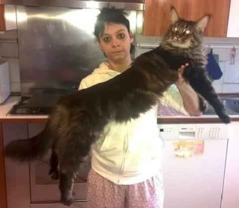E' lombardo il gatto più lungo del mondo, si chiama Barivel – ANSA.it