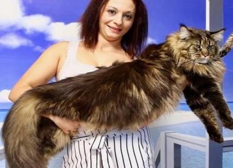 Barivel: è lombardo il gatto più lungo del mondo – Affaritaliani.it