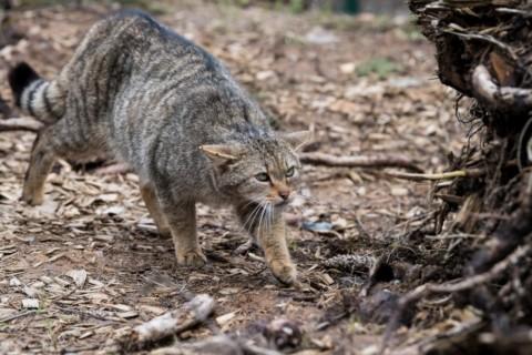 Il gatto selvatico è tornato nelle Prealpi – tio.ch