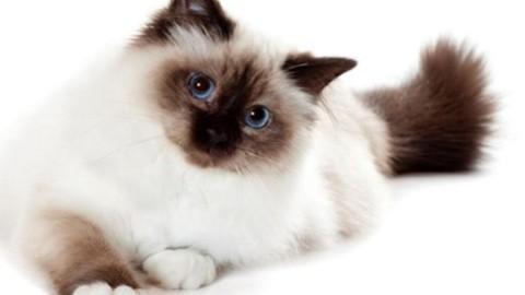 Gatto Sacro di Birmania, uno dei gatti più belli al mondo – Moondo (Blog)