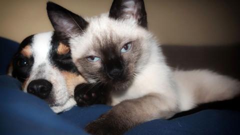 Il siamese, tutto quello che c'è da sapere sul gatto che sembra un cane – LifeGate