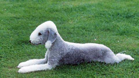 Cani: le 5 razze più rare al mondo – Velvet Pets